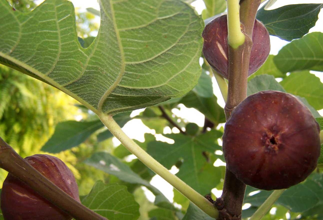 Le retour des figues