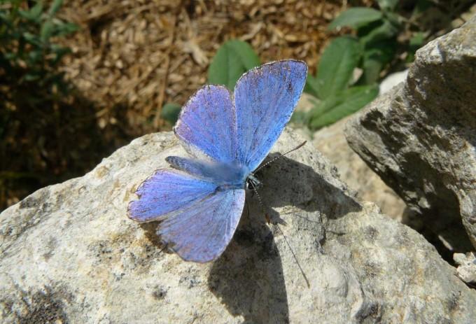 Les papillons papillonnent